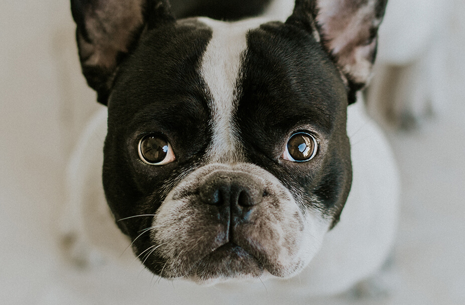 close up photo of a black and white French bulldog's cute face
